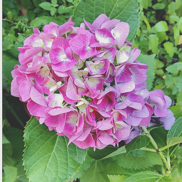 こんにちは!いよいよ梅雨入りももう間近!近所に咲く紫陽花も雨が降るたびに色が変化していき、楽しませてくれます。昔は、移り気・浮気などマイナスの花言葉のイメージが強かった紫陽花ですが、最近では色ごとにたくさんの花言葉があり、ポジティブな花言葉も広まってきたこともあり、結婚式のブーケにも使われるようになってきたそうな。そんな中でもピンクの紫陽花は、「元気な女性、強い愛情」という意味を持つそうです。そして一つ一つの花が寄り集まっていることから、「家族」「団らん」という意味もあるそうです。しとしとと降り続く雨の中、ハッと心を掴む魅力的な紫陽花のようなステキな女性になりましょう!婚活力がアップするパーティーも開催中です♫゚*・゜ .。.:*・゜゚・*.。.:*・*・.。.:*・゜.。.:*・結婚相談所ビリーブインユアセルフ婚活サロン:大阪市住吉区あびこ出張カウンセリング:関西全域お問い合わせは↓↓TEL:06-7181-047MAIL: info@bridal-biy.comLINE: @mdz5153v をお友達登録・*.。.:*・*・.。.:*・゜.。.:*・゜・*.。.:*・*・.。.:#biy #ibj #婚活 #婚活力 #魅力アップ婚活パーティー #結婚相談所 #大阪市住吉区あびこ #紫陽花#独身女性 #お見合い #モテテク